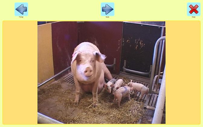 gris i vips